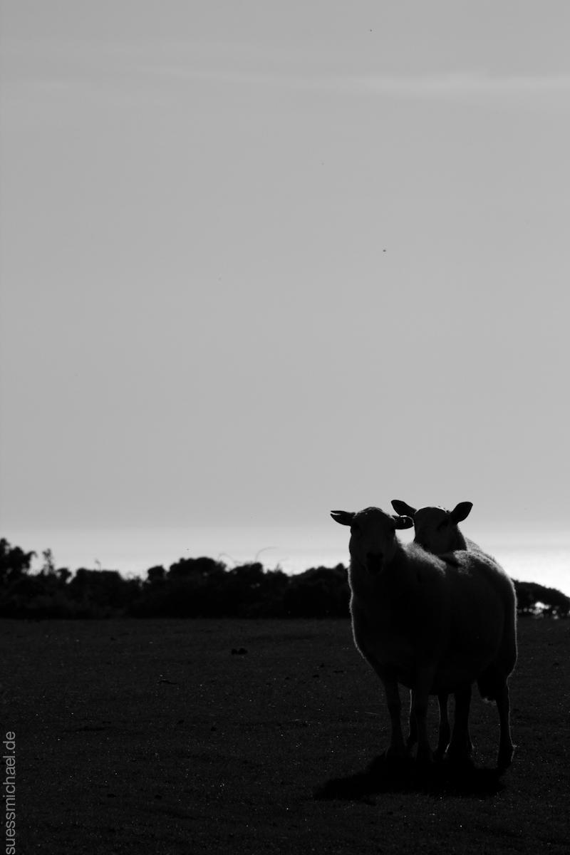 2011-09-29 Rhosilli Cliffs - sheep