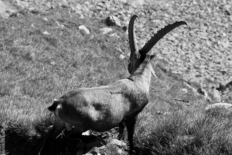 2012-08-17 Alpine ibex